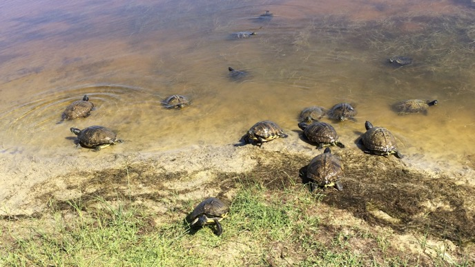 Several turtles in and near a pond