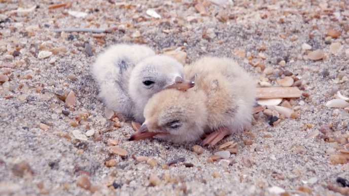 Two least tern chicks