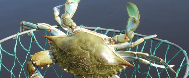 Blue crab caught during a ranger-led crabbing program