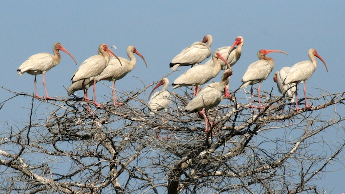 Group of white ibis in a tree