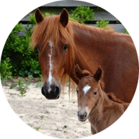 Two Ocracoke ponies