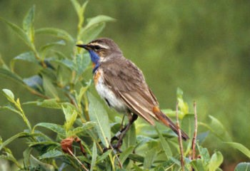 brown bird with blue throat on a branch