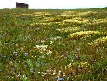Carpet of blue and white flowers on a vegetated beach ridge with an old cabin in the distance
