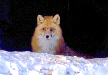 Red fox stares from behind a bank of snow