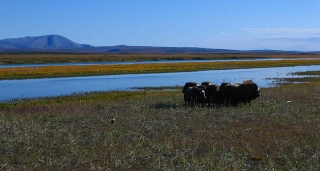 Muskoxen huddle near a lagoon with mountains in the distance.