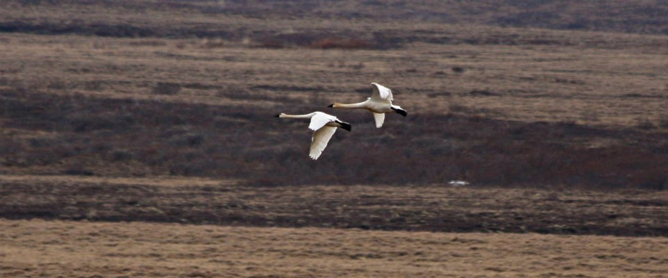 white swans flying with a brown background