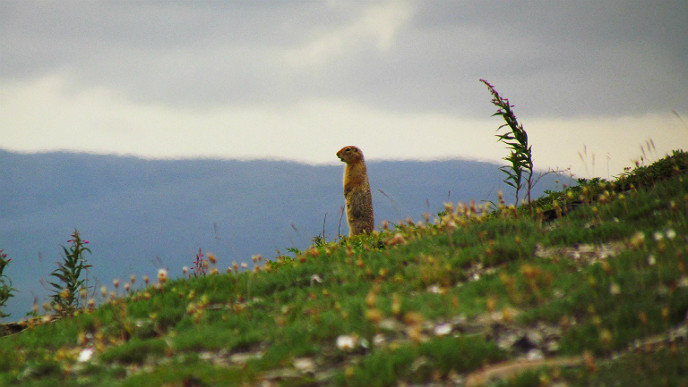 Arctic ground squirrel standing on a hill
