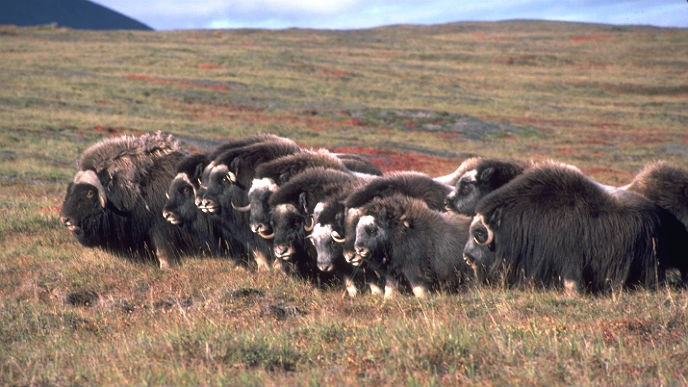 group of muskox standing on the tundra
