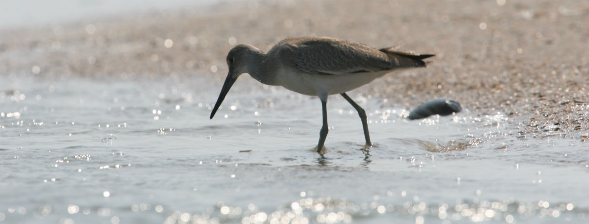 A shorebird wades through the surf.