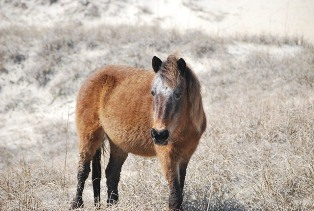 #68, the Oldest Mare in the Shackleford Herd 03-2013