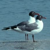 Laughing Gulls, summer plumage