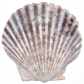 Bay Scallop