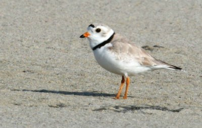 Breeding male piping plover.