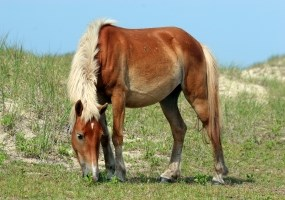 Frequently Asked Questions - Horses - Cape Lookout National