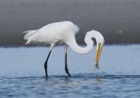Animals Cape Lookout National Seashore U S National