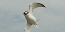 Least Tern Diving
