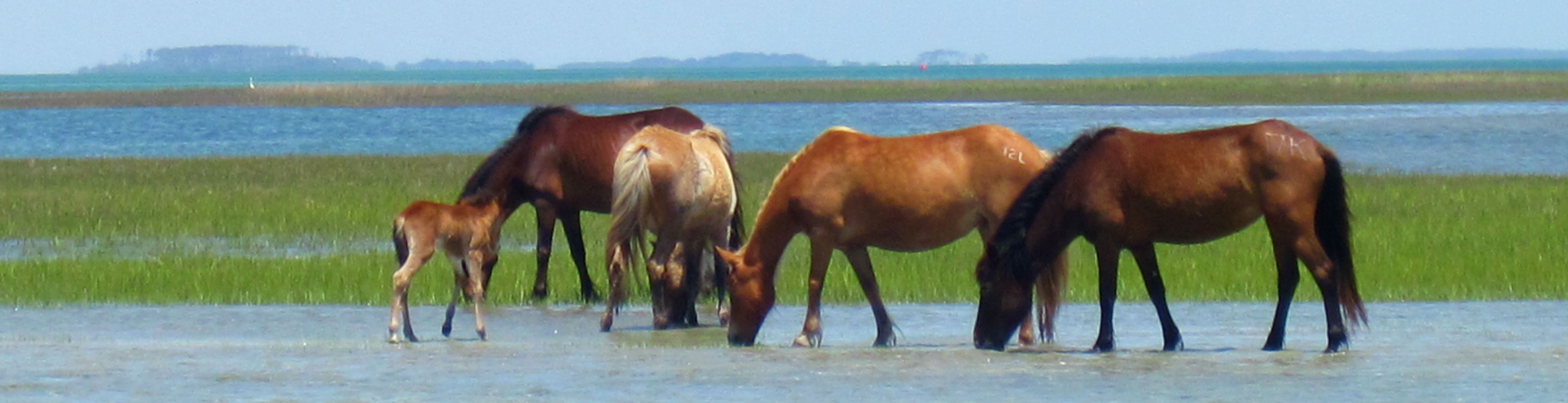 The Shackleford horses graze in the marsh.