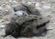 American Oystercatcher Chicks and Egg