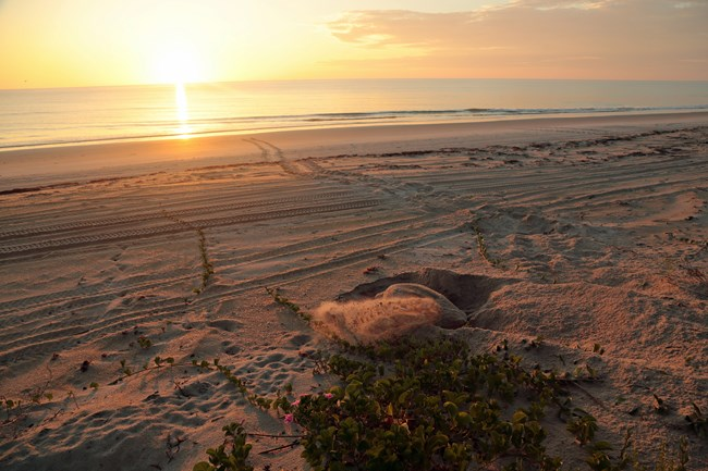 Sea turtle nesting as the sun is rising.