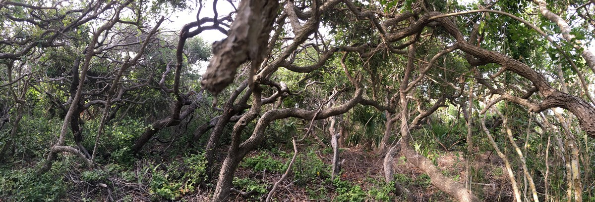 Underneath the canopy of the coastal scrub oak.