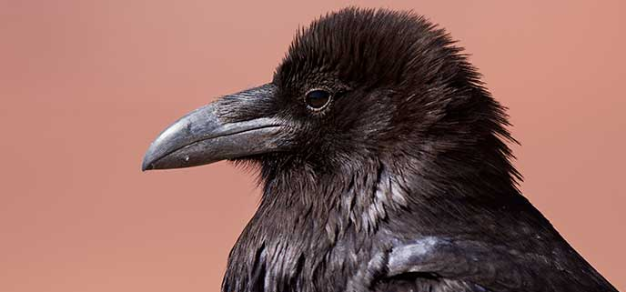 A close up of a common raven