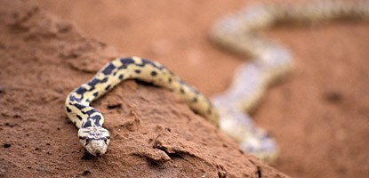 photo: Gopher Snake
