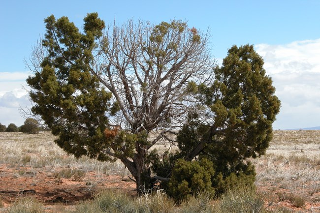 a juniper tree has seemingly dead branches that it has self-pruned
