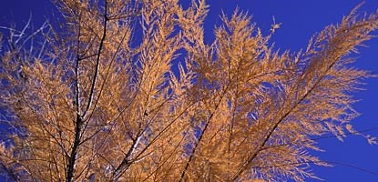 Tamarisk (Tamarix chinensis) turns brilliant orange in the fall