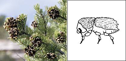 photo of a pinyon pine and an illustration of an engraver beetle