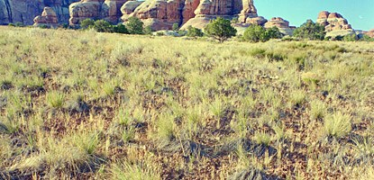 photo: Native bunch grasses in the Needles District