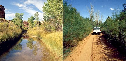 photo: Salt Creek Canyon with (left) and without (right) tamarisk. Tamarisk often forms dense groves that block out other species. Notice the greater abundance of surface water and variety of plants in the right hand photo.