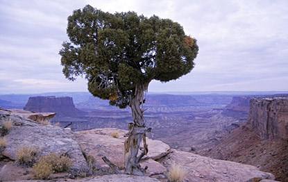 a juniper tree perched on a cliff edge