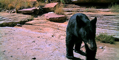 Plan A Road Trip >> Bears - Canyonlands National Park (U.S. National Park Service)