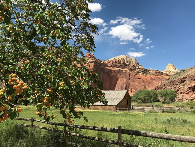 Ripe apricots on leafy green tree, with a wooden barn, green pasture, red cliffs, and blue sky in the background.