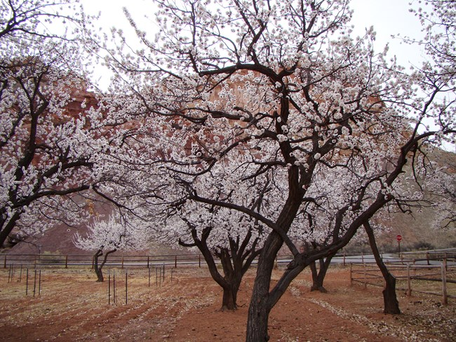 Dark-trunked trees covered with pale pink blossoms planted in a line. A fence, road, and red cliffs are in the background.