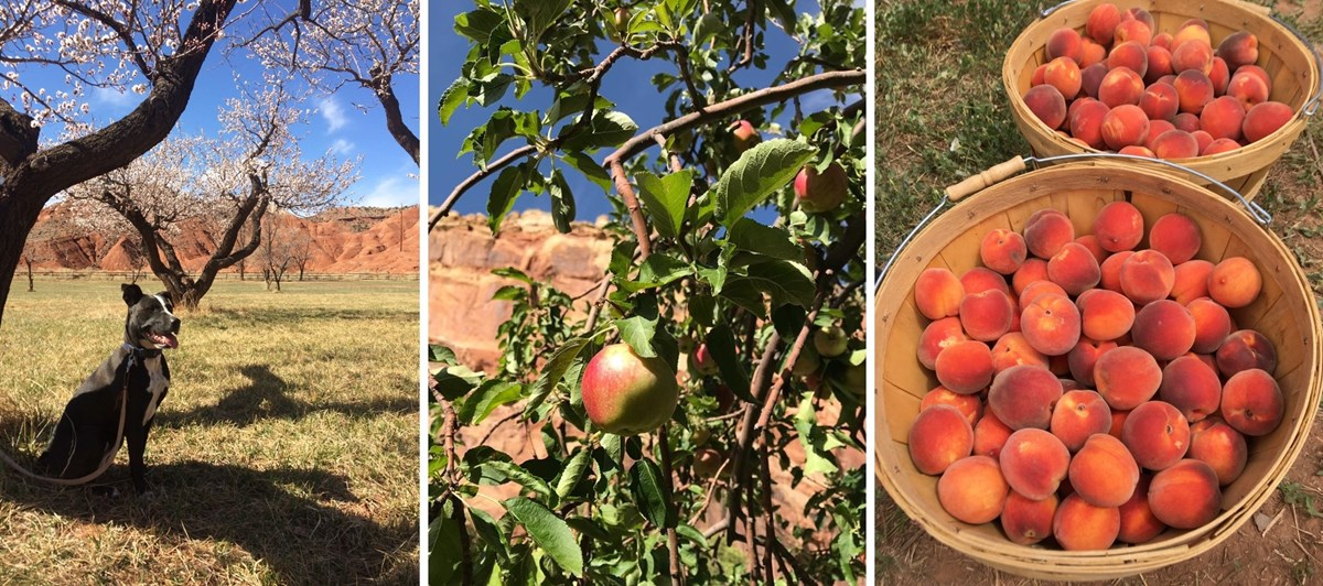 3 photos: black dog and flowering apricot tree; apple on tree with blue sky and red cliffs in background; two baskets of peaches.