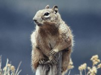Rock Squirrel