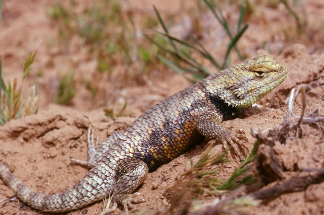 Mostly gray lizard with prominent scales, a yellowish head, and orange and black on its side. The lizard is laying in the sand among sparse small green vegetation.