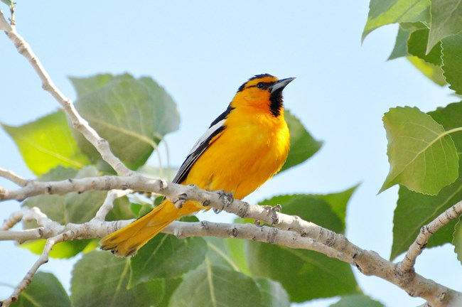Bird perched on tree branch with bright orange-yellow underside and green leaves and blue sky in background