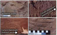 Vertebrate tracks of <i>Chirotherium</i>. Known to occur at Glen Canyon National Recreation Area and Capitol Reef National Park