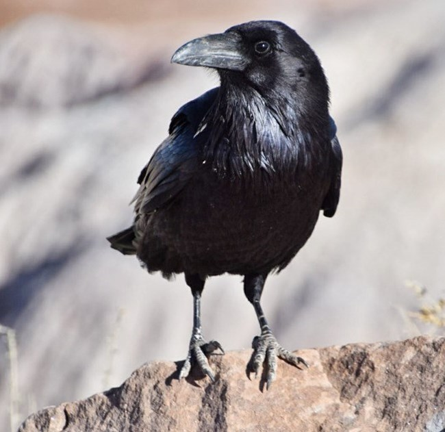A black bird with large beak perched on tan rock