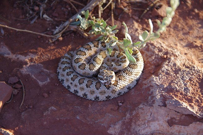 Coiled snake with tan body with distinct brown blotches down the middle of its back and fainter blotches along its side