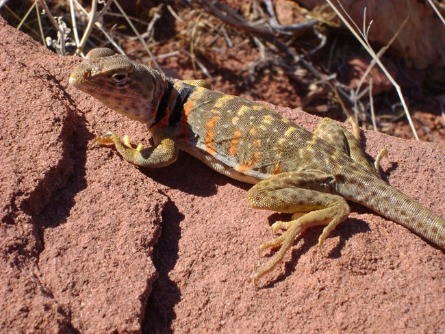 Brown to olive green lizard with two black rings around neck, lightly spotted legs and tail, and bright orange to yellow elongated blotches on sides and back