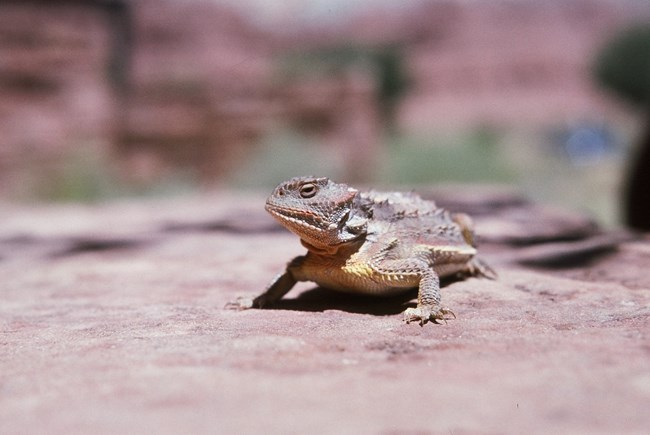 Large lizard with prominent scales and rows of short spikes along its length on reddish sandstone