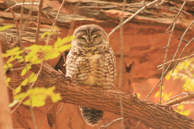 Owl perched on tree branch with red cliffs in background