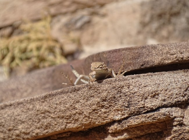 A tan lizard with lighter underside perched at the edge of a flat slab of sandstone