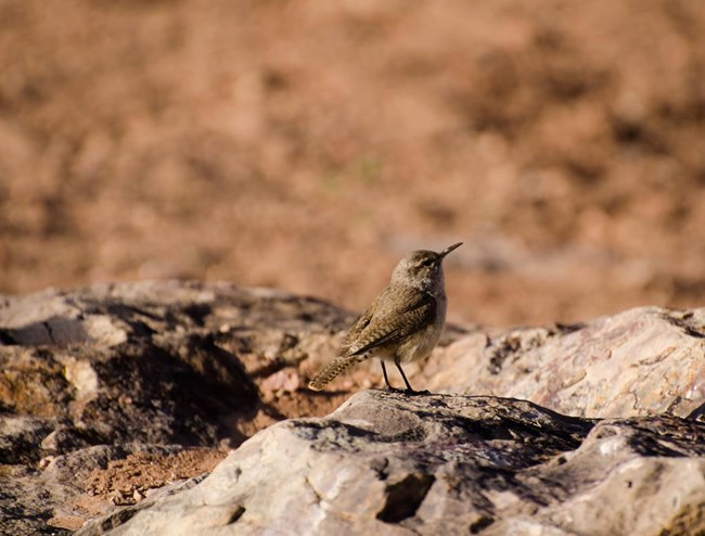 Little brown bird on rock with dusty red desert background