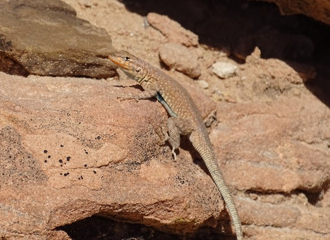 Light brown lizard on similarly colored sandstone with faintly speckled back and blueish black blotch on side near forelimb