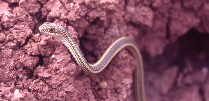 Striped Whipsnake on a rock