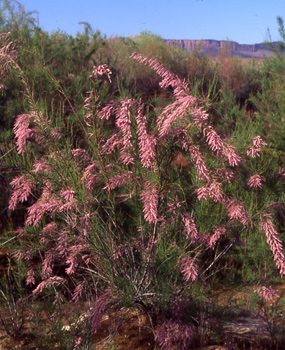 Tamarisk in Bloom